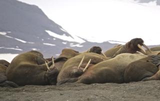 Walrussen B