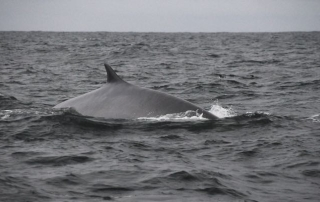 humpback B