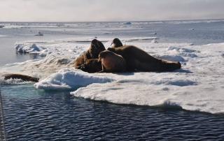 Ywalrussen op ijs